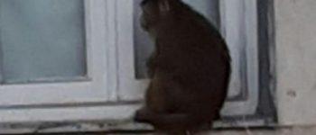 عکس + حمله میمون بازیگوش به آرایشگاه زنانه